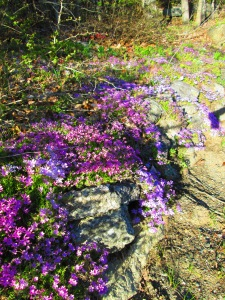 More moss phlox. A favorite of mine - an alpine classic.