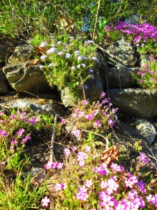 Massive drifts of moss phlox along the front stone wall.