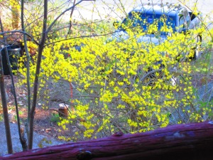 Forsythia. Albeit, overgrown. Slated for mass pruning.